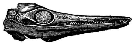 vintage anatomy: Ichthyosaur fossil head, vintage engraved illustration. Earth before man – 1886.