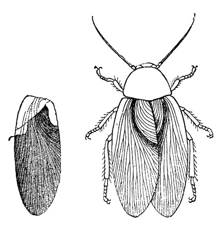 carboniferous: Insect of the Carboniferous era, Blattina Helvetica, vintage engraved illustration. Earth before man – 1886.