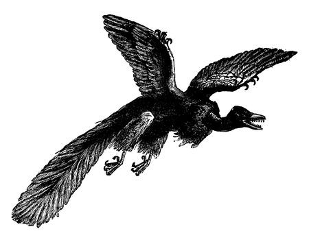 oldest: The archeopteryx (oldest fossil bird discovered), vintage engraved illustration. Earth before man – 1886. Illustration
