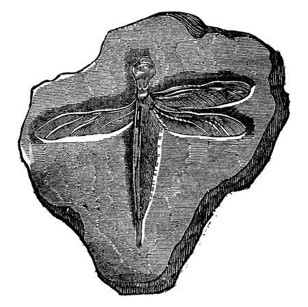 Dragonfly fossil of the Jurassic period, vintage engraved illustration. Earth before man – 1886.