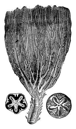 period: Crinoids from the Jurassic period, vintage engraved illustration. Earth before man – 1886. Illustration