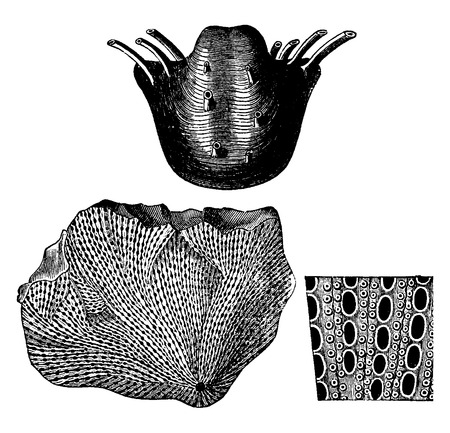 phylum: Mollusks from the Permian period. 1 Productuss horridus, 2 Fenestella retilformis with enlarged fragment, vintage engraved illustration. Earth before man – 1886. Illustration