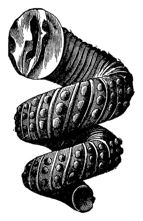 cephalopod: Cephalopod ammonites of the Cretaceous period, vintage engraved illustration. Earth before man – 1886.