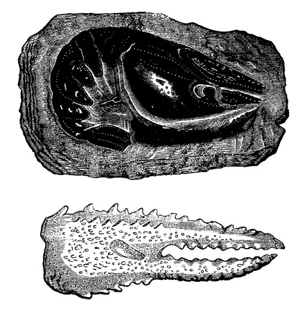 triassic: Crustaceans of the Triassic era, Raw crayfish and claws, vintage engraved illustration. Earth before man – 1886.