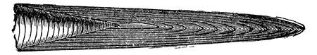 Various beaks of Jurassic belemnites, vintage engraved illustration. Earth before man – 1886. Illusztráció