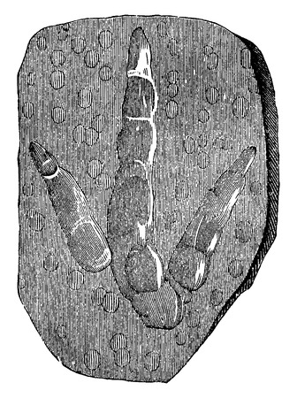 triassic: Footprints of brontozoum giganteum (Triassic) with imprints of raindrops, vintage engraved illustration. Earth before man – 1886.