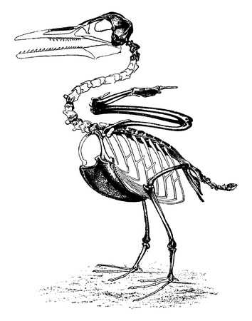 victor: The toothed birds of the Cretaceous period, Ichthyornis Victor of North America, vintage engraved illustration. Earth before man – 1886.