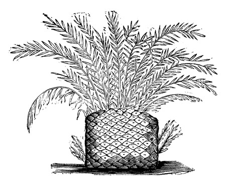 triassic: Cycads from the Triassic period, vintage engraved illustration. Earth before man – 1886. Illustration