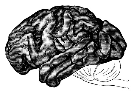vintage anatomy: Brain chimpanzee, vintage engraved illustration. Earth before man – 1886. Illustration