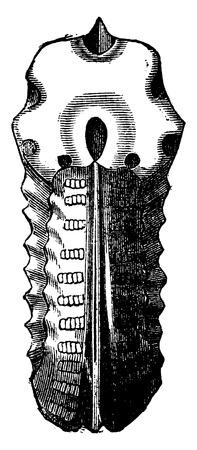 Ammonites inflatus, vintage engraved illustration. Earth before man – 1886.