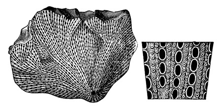 enlarged: Mollusks from the Permian period. 1 Productus horridus. 2 Fenestella retilformis with enlarged fragment, vintage engraved illustration. Earth before man – 1886.