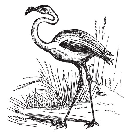wade: Flamingo, vintage engraved illustration.