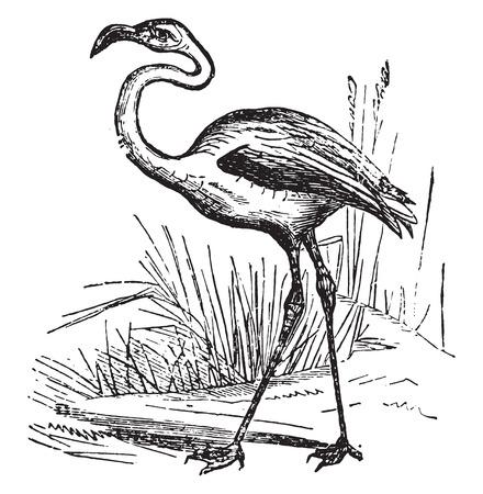 Flamingo, vintage engraved illustration.