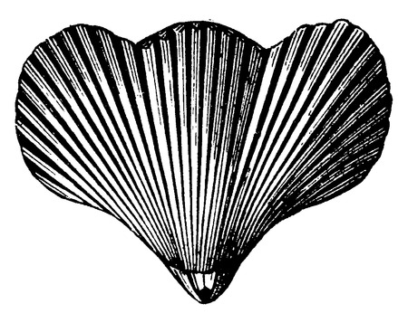 before: Rhynchonella vespertilio, vintage engraved illustration. Earth before man – 1886.