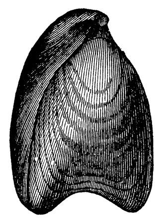 before: Terebratula digona, vintage engraved illustration. Earth before man – 1886.