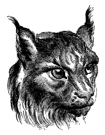 resemblance: Cat, vintage engraved illustration. Earth before man – 1886.