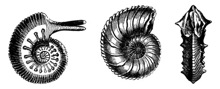 cephalopod: Cephalopods from the Jurassic period, vintage engraved illustration. Earth before man – 1886.