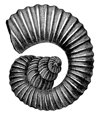 Cephalopod ammonites of the Cretaceous period, vintage engraved illustration. Earth before man – 1886.