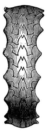 triassic: Ceratite nodosus, vintage engraved illustration. Earth before man – 1886.