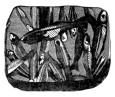fossil: Preserved fossil fish on a plate shale, vintage engraved illustration. Earth before man – 1886.