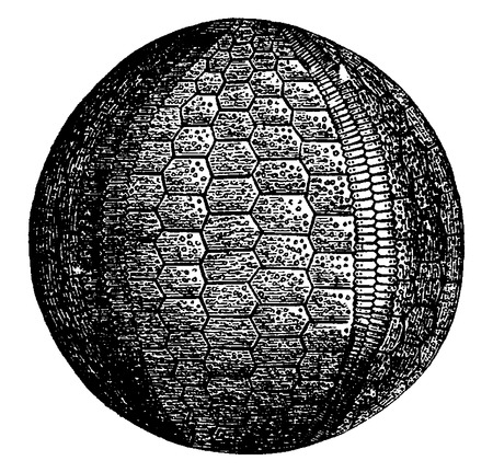 urchin: Urchins and crinoids of the Carboniferous era, vintage engraved illustration. Earth before man – 1886.
