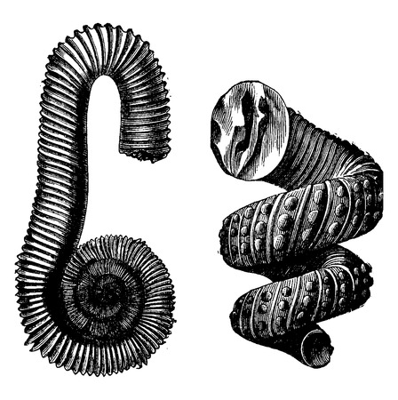 cretaceous: Cephalopod ammonites of the Cretaceous period, vintage engraved illustration. Earth before man – 1886.