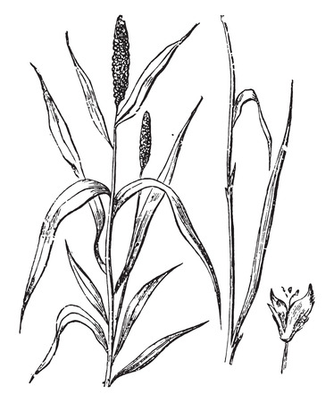 Timothy or scourge of wheat, vintage engraved illustration. Stock Illustratie