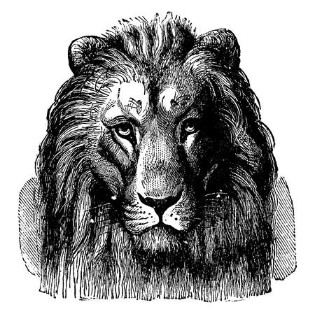 lion dessin: T�te de lion de Sennar, vue de face, illustration vintage grav�. Terre avant que l'homme - 1886.
