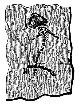 remain: Fossil remains of protriton petrolei, vintage engraved illustration. Earth before man – 1886. Illustration