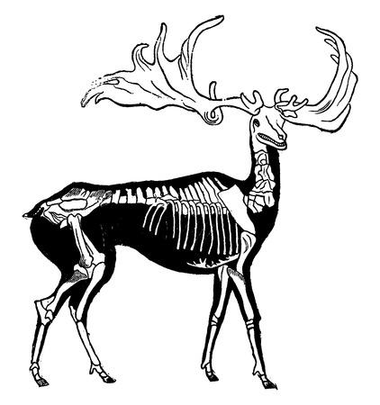 probable: Skeleton and probable shape of giant deer woods, vintage engraved illustration. Earth before man – 1886. Illustration