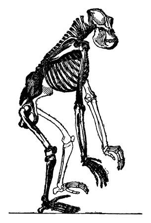 vintage anatomy: Skeleton of gorilla, vintage engraved illustration. Earth before man – 1886.