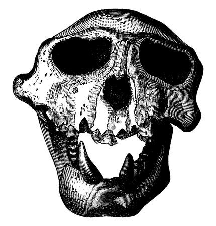 primate biology: Langur monkey skull of the Miocene period, vintage engraved illustration. Earth before man – 1886.