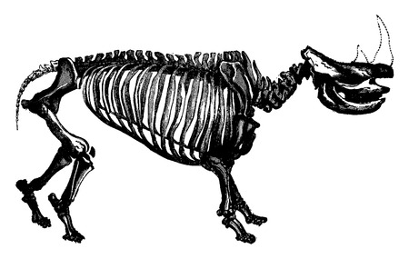 Rhinoceros skeleton, The transformation of species, vintage engraved illustration. Earth before man – 1886.