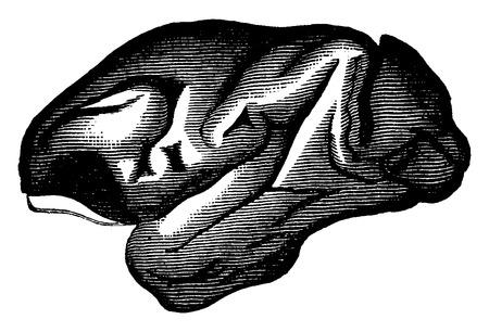 primate biology: Macaque brain, vintage engraved illustration. Earth before man – 1886.