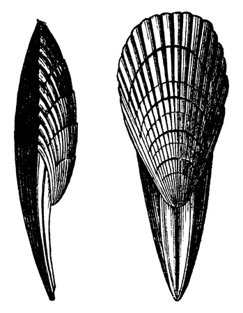 before: Terebrirostra neocomiensis, vintage engraved illustration. Earth before man – 1886. Illustration