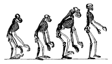 compared: Compared skeletons of the orang, chimpanzee, gorilla and man, vintage engraved illustration. Earth before man – 1886.
