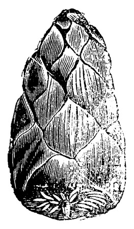 extant: Fruits of cycads, petrified, vintage engraved illustration. Earth before man – 1886.