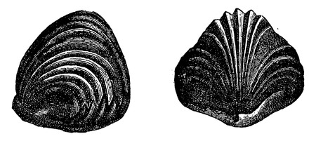 Rhynchonelle viewed from different sides, vintage engraved illustration. Earth before man – 1886.