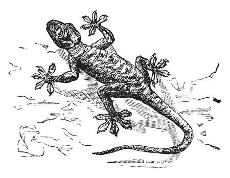 herpetology: Gecko, vintage engraved illustration. Illustration