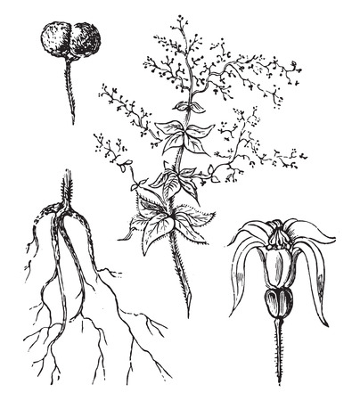 plants species: Madder, vintage illustrazione inciso.
