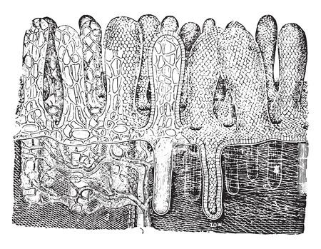 Suction pump (villi), vintage engraved illustration. Illustration
