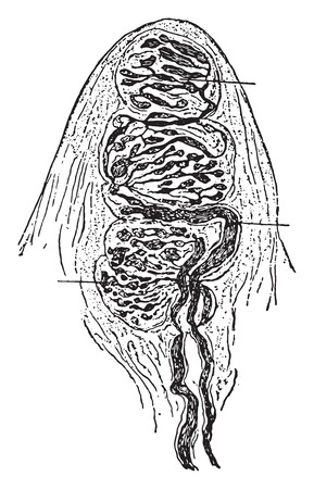 Touch corpuscle, vintage engraved illustration.