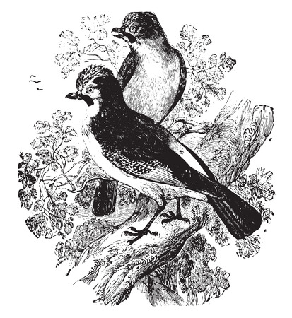 jay: Jay, vintage engraved illustration.