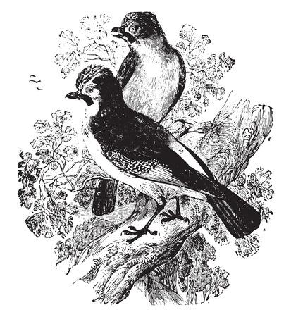 passerine: Jay, vintage engraved illustration.