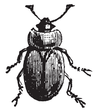 genus: Sap beetle, vintage engraved illustration.