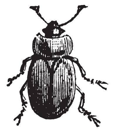 sap: Sap beetle, vintage engraved illustration.