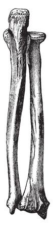 The bones of right forearm, vintage engraved illustration. Illustration