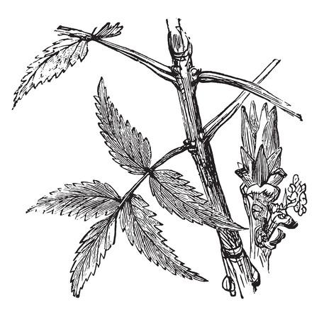 subtropical: Ash, vintage engraved illustration.