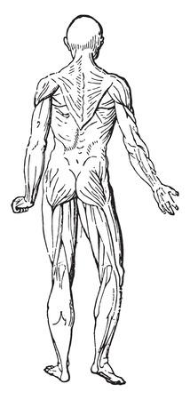 latissimus: Muscolo, vintage illustrazione inciso.