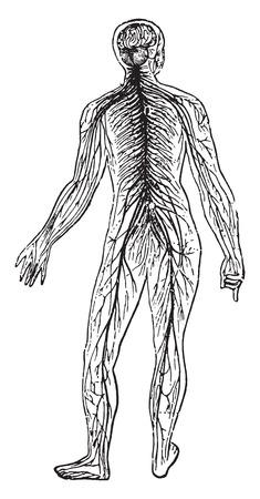 anatomy leg: Nervous systems, vintage engraved illustration.